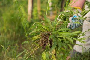 Gardener in gloves pulling weeds