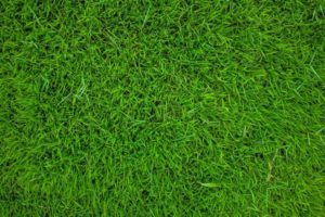 A close up photo of Sir Walter Certified Buffalo Turf