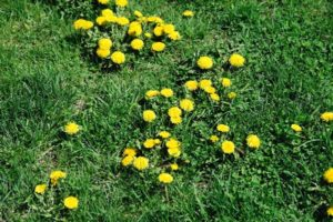 lawn in bad condition full of dandelion weeds