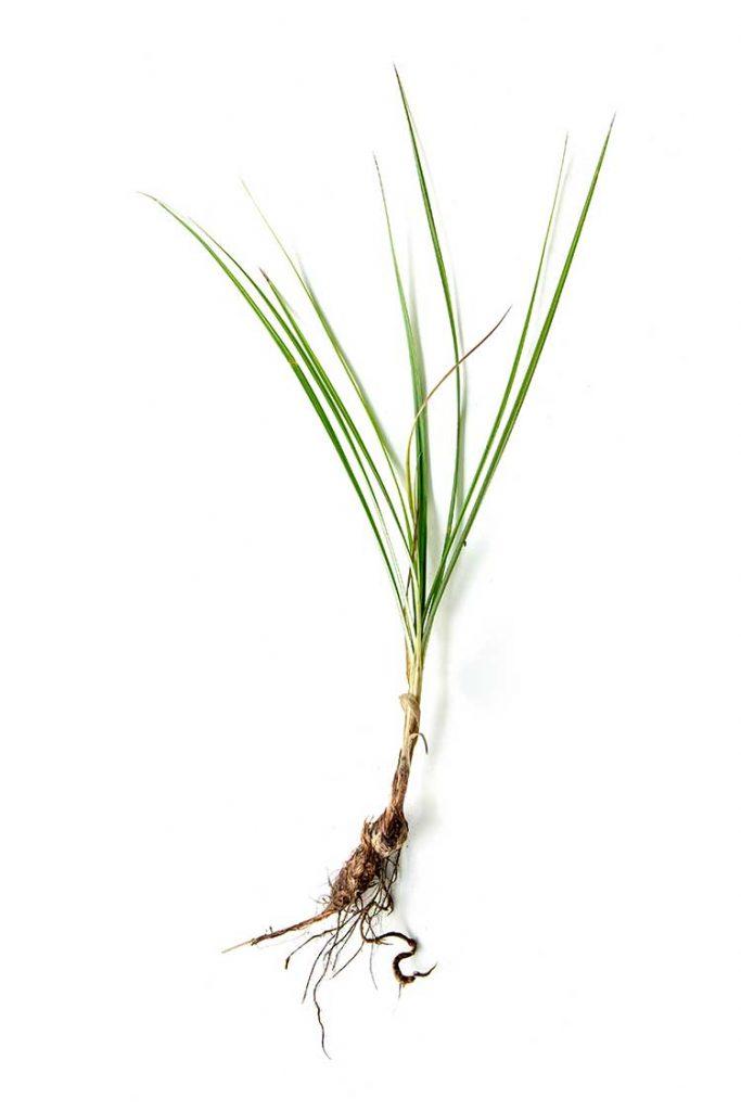 Nut-Grass-e2