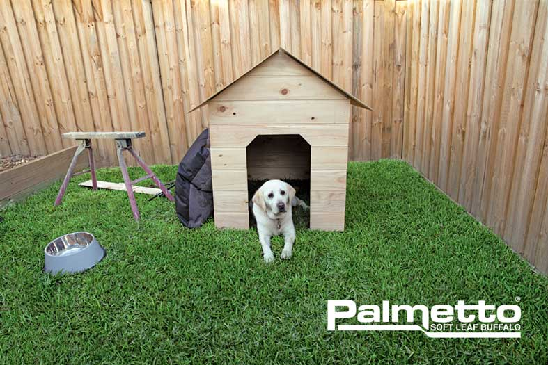 Palmetto-Soft-Leaf-Buffalo-Turf-Dog